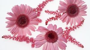 Earth Flower Gerbera Pink Flower 1920x1200 Wallpaper