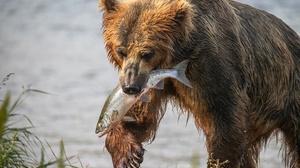 Food Animals Fish Mammals Wildlife Bears 3500x2333 Wallpaper