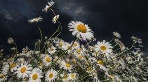 Cloud Daisy Dark Earth Flower Sky White Flower 2048x1427 Wallpaper