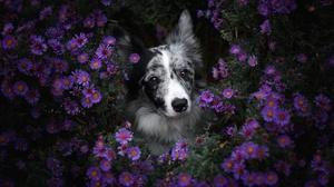 Border Collie Dog Flower Pet Purple Flower 2048x1365 Wallpaper