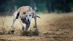 Greyhound Running Sport 3259x2176 Wallpaper
