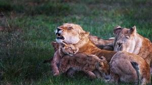 Big Cat Wildlife Predator Animal Cub Baby Animal 6016x4016 Wallpaper