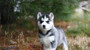 Dog Husky Pet Puppy Siberian Husky 6000x4000 Wallpaper
