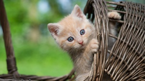 Kittens Animals Cats Mammals Baskets Outdoors Pussy Peek Feline Blue Eyes 2000x1333 Wallpaper