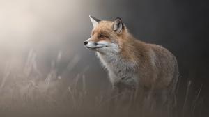 Animal Fox 3543x2344 wallpaper