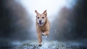 Depth Of Field Dog Golden Retriever Pet Running 4500x3000 wallpaper