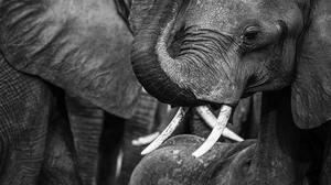 Elephant Botswana Monochrome 4273x2404 Wallpaper