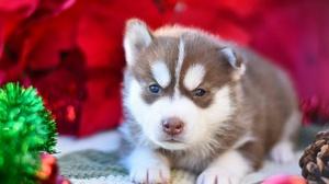 Baby Animal Dog Husky Pet Puppy Siberian Husky 3840x2560 Wallpaper