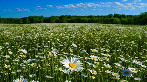 Chamomile Flower Meadow Nature Summer 4928x3264 Wallpaper