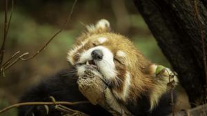 Animals Sleepy Red Panda Mammals Nature 4995x3330 wallpaper