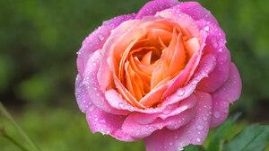 Macro Petal Dew Water Drop Flower Pink Rose 2048x1365 Wallpaper