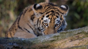 Big Cat Tiger Wildlife Predator Animal 2047x1365 wallpaper