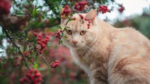 Cat Pet Rowan Stare 3070x2048 Wallpaper