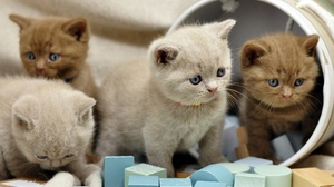 Baby Animal British Shorthair Cat Kitten Pet 2560x1700 wallpaper