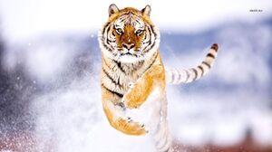 Tiger 1366x768 wallpaper