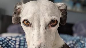 Dog Whippet Animal Eyes Eyes 1565x880 Wallpaper