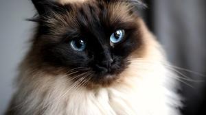Siamese Cat Pet 2048x1792 wallpaper