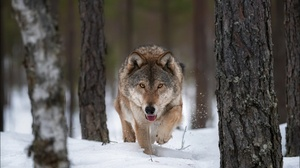 Snow Wildlife Winter Wolf Predator Animal 1920x1282 wallpaper
