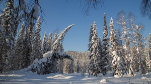 Forest Snow Nature Spruce 2500x1667 Wallpaper