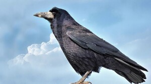 Animal Crow 1638x1092 Wallpaper