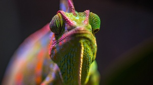 Chameleon Lizard Reptile Wildlife 3395x2265 Wallpaper