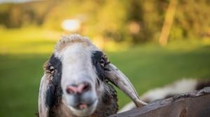Muzzle Sheep 6144x4101 wallpaper