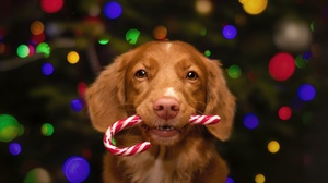 Dog Pet Baby Animal Puppy Candy Cane 2000x1334 Wallpaper