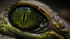 Reptile Crocodile Eye 2560x1440 Wallpaper