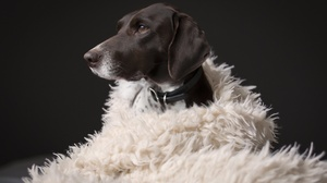 Animal German Shorthaired Pointer 2048x1365 Wallpaper