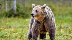 Animal Bear 1920x1280 Wallpaper