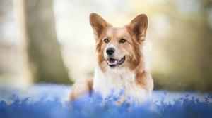 Corgi Depth Of Field Dog Pet 2048x1366 Wallpaper