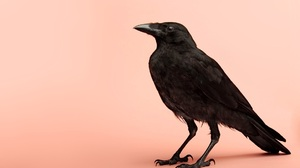 Animal Raven 1920x1200 Wallpaper