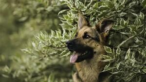 Animal Dog German Shepherd Pet 2560x1600 wallpaper