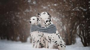 Dalmatian Dog Pet Snowfall Winter 2560x1707 Wallpaper