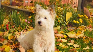 Dog Pet West Highland White Terrier 2958x1847 wallpaper