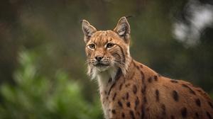 Big Cat Lynx Wildlife Predator Animal 3840x2160 Wallpaper