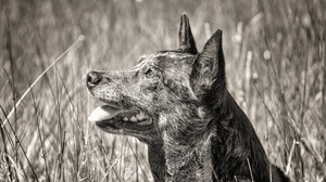 Dog Black Amp White Australian Cattle Dog 3000x2000 Wallpaper