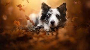 Border Collie Dog Fall Leaf Pet 2048x1365 Wallpaper