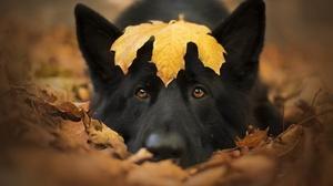 Dog German Shepherd Leaf Pet 6016x4016 Wallpaper
