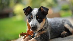 Dog Pet Puppy Bokeh 1920x1200 Wallpaper