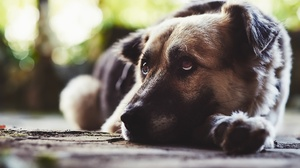 Bokeh Depth Of Field Dog German Shepherd Pet Resting 2048x1365 Wallpaper