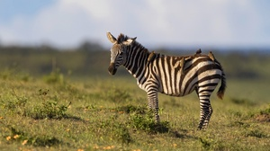 Wildlife Zebra 4095x2730 wallpaper