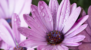 Daisy Earth Flower Macro Purple Flower Water Drop 2048x1409 Wallpaper
