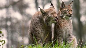 Big Cat Depth Of Field Lynx Wildlife Predator Animal 2048x1284 Wallpaper