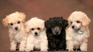 Animal Baby Animal Cute Poodle Puppy 5502x3668 Wallpaper