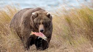 Bear Wildlife Predator Animal 2048x1296 Wallpaper