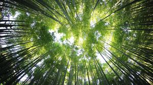 Bamboo Canopy Green Nature 4500x3000 Wallpaper