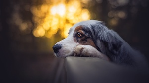 Australian Shepherd Bokeh Dog Pet 2048x1367 Wallpaper