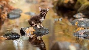 Chihuahua Depth Of Field Dog Pet Reflection Stream 1920x1280 Wallpaper