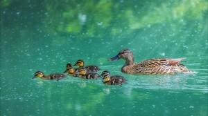 Animal Baby Animal Cute Duck Duckling Mallard 2048x1387 Wallpaper